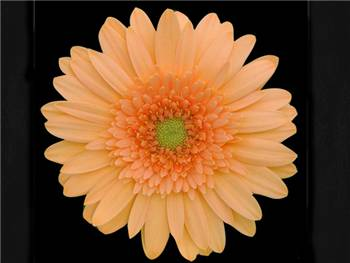 Galaxy Asteraceae