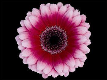 Glossy Asteraceae