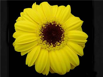 Gold Spark Asteraceae