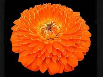 Grammy Asteraceae
