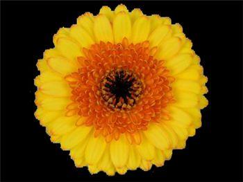 Ilya Asteraceae