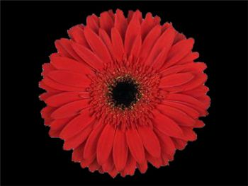 Inferno Asteraceae