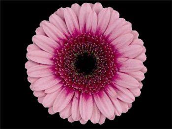 Isabelle Asteraceae