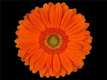Jaffana Asteraceae