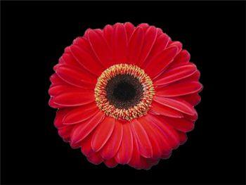 Kennedy Asteraceae