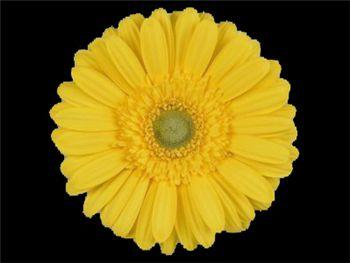 Kento Asteraceae