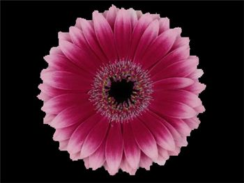 Kian Asteraceae