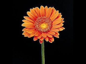 Lambada Asteraceae