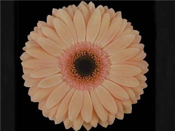 Laureen Asteraceae