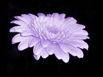 Lavender Asteraceae