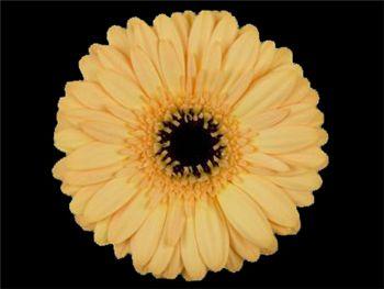 Lavina Asteraceae