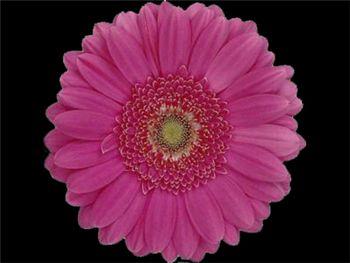 Leonie Asteraceae
