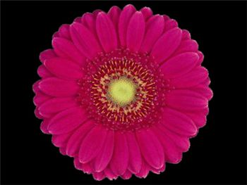 Lilian Asteraceae