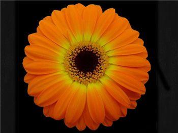 Lindya Asteraceae