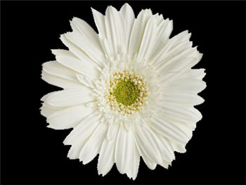 Lourdes Asteraceae