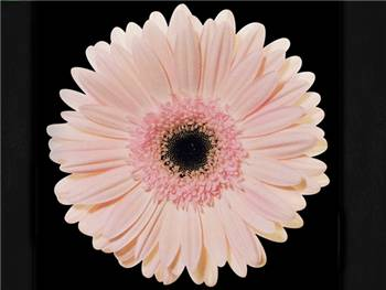 Marmara Asteraceae