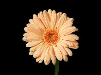 Minou Asteraceae