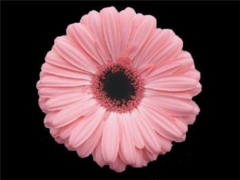 Mirandita Asteraceae