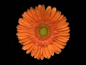 Orange Asteraceae
