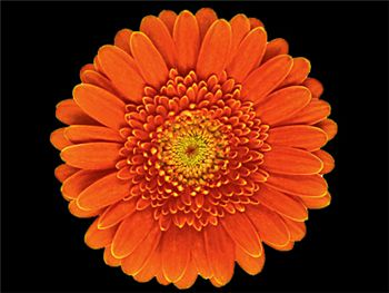 Ornella Asteraceae
