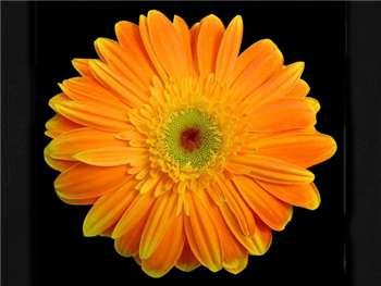 Paquita Asteraceae