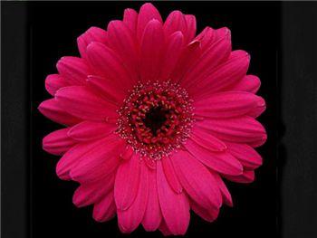 Perplex Asteraceae