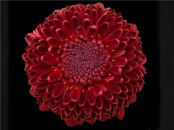 Pimpernel Asteraceae