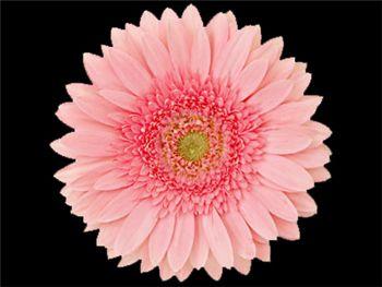 Pink Elegance Asteraceae