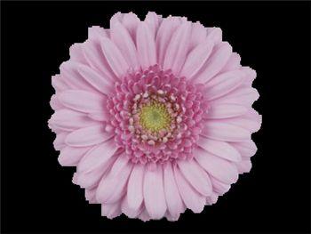 Pink Star Asteraceae