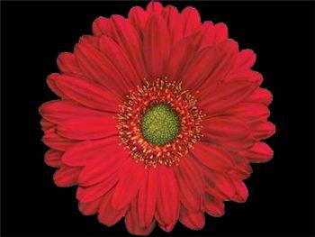 Pinta Asteraceae