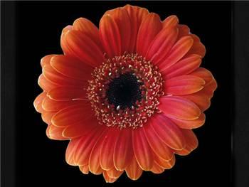 Pompador Asteraceae