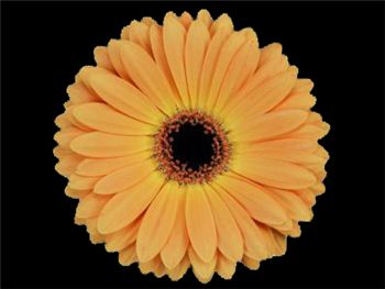 Pompano Asteraceae