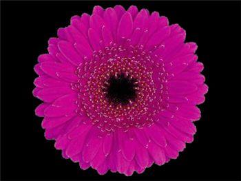 Prewhisper Asteraceae