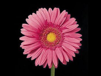 Rafaella Asteraceae