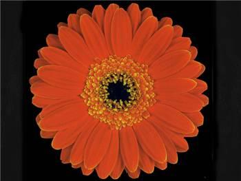 Real Asteraceae