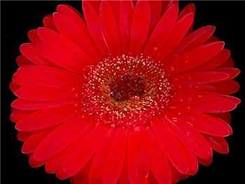 Red Asteraceae