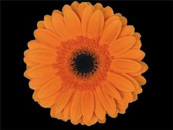 Rising Sun Asteraceae
