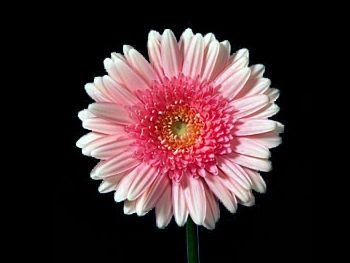 Rose Asteraceae