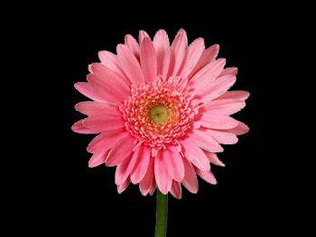 Rosemary Asteraceae