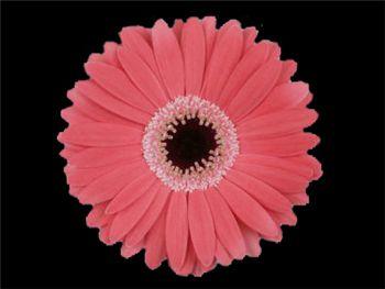 Rylee Asteraceae