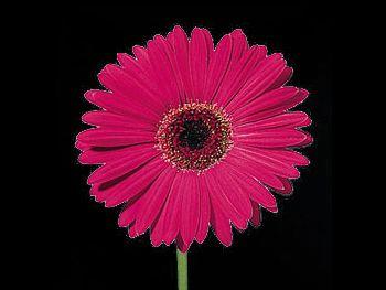 Serena Asteraceae