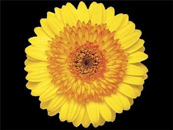 Solomio Asteraceae