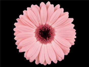 Spacibo Asteraceae