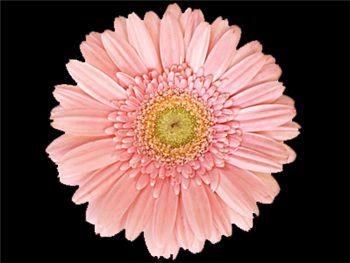 Supra Asteraceae