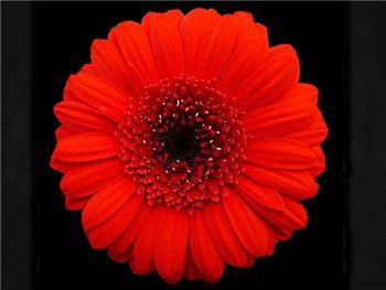 Suri Asteraceae