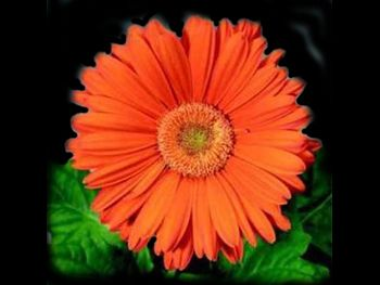 Tangerine Asteraceae