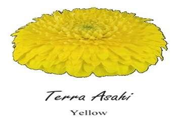 Terra Asahi Asteraceae