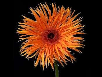 Tomahawk Asteraceae