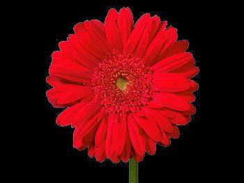 Tsjar Asteraceae