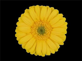 Tyme Asteraceae